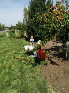 Fall Harvest of Peaches